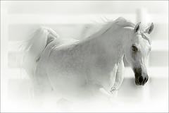 Arabian Horses (HANI AL MAWASH) Tags: horse art animal photo al kuwait hani  artphoto      animalkingdomelite mywinners  aplusphoto kuwaitphoto   almawash almwash kuwaitartphoto kuwaitart  mawash