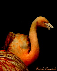 Charme (Ricardo Venerando) Tags: red orange bird art nature animal wildlife explore soe naturesfinest conservacion nationalgeografic platinumphoto diamondclassphotographer ysplix goldstaraward