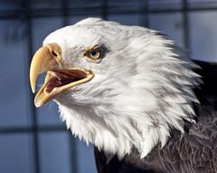 Bald Eagle (musubk) Tags: bird animal alaska zoo eagle wildlife baldeagle bald ak anchorage alaskazoo
