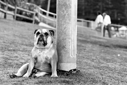twoguineapigs pet photography studio | bulldog with attitude by bronte beach in sydney