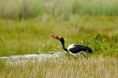 Saddle-billed stork (Ephippiorhynchus senegalensis) drinking (gipukan (rob gipman)) Tags: africa eos free swamp 7d uganda stork birdwatcher ooievaar saddlebilled canon100400lis senegalensis mpigi stork saddlebilled ephippiorhynchus mg24151jpg