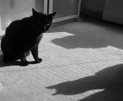 Cat and Shadow (indigo_jones) Tags: light shadow bw cats pets katten utrecht shadows lola nederland luna blackcats