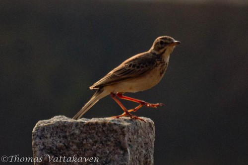 Paddyfield Pipit (Anthus rufulus)