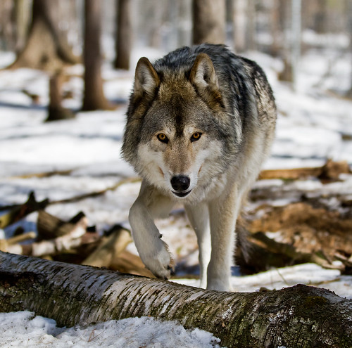 Akayla, a Gray/Timber Wolf from the Muskoka Wildlife Centre by Christopher Brian's Photography