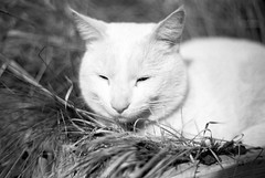 Cat (stefansven) Tags: leica white film cat 50mm wait rest pause 50 garfield rast faul warten r5 faulheit summiluxr flowerbucket