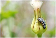 Coccinella septempunctata larvae -    (Eran Finkle) Tags: macro closeup ladybird ladybug ladybeetle larvae larva coccinellidae coccinellaseptempunctata  sevenspotladybird raynoxdcr250  nikond80  sevenspottedladybug  nikon2880mmf3356g     eranfinkle