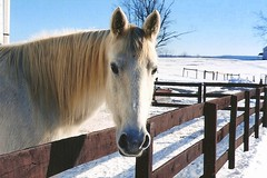 From the Archives (Peachhead (4,000,000 views!)) Tags: winter horse pet snow film caballo cheval sadie bluesky scan nikonf100 cavallo pferd equine valleyhillstables