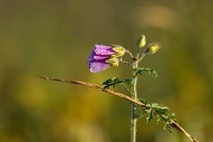 Morgenlicht und Morgentau-8347 (Holger Losekann) Tags: pflanze blume blte wassertropfen sonnenlicht morgenlicht morgentau sonnenaufgang