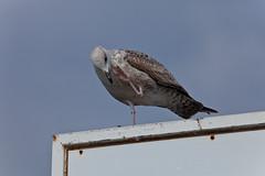 Give me five! (JOAO DE BARROS) Tags: barros joo funny humor seagull animal bird