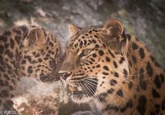 Affection or attention? (RJB10) Tags: nikon blinkagain cub portrait d300s leopardcub zoo marwell endangeredfamilies endangeredcats bigcat cats 70200mm handheld family literoom5 cat highqualityanimals leopard bokeh