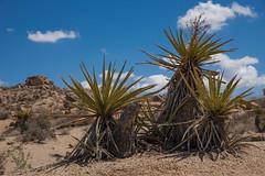 Yucca schidigera (webalpen) Tags: spargelartigeasparagales joshuatreenationalpark nordamerika unitedstatesnationalparks usavereinigtestaatenvonamerika kalifornien nationalpark spargelgewchseasparagaceae umwelt pflanze bluetenpflanzekleinpflanze agavengewchseagavoideae yuccaschidigera palmlilienyucca