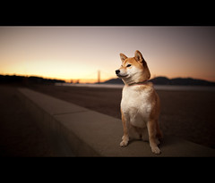 The Shiba (kaoni701) Tags: sf sanfrancisco portrait dog cute night marina project puppy japanese gg dusk goldengatebridge suki shibainu presidio 2010 cls crissyfield shibaken  offcamera 52weeks 24mmf14 strobist d700 sb900