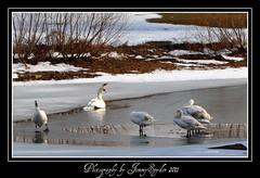 """On Thin Ice""!!!!! (JimmySpyder) Tags: nikon pennsylvania swans fhm swanpond d5000 dailyrayofhope"