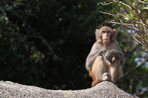Monkey perched atop a wall, sitting and waiting