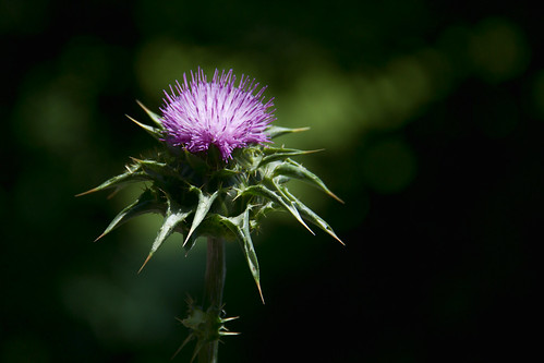 [フリー画像] 花・植物, キク科, アザミ, 201101300700