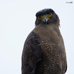 Crested Serpent Eagle (Spilornis cheela) (Sir Mart Outdoorgraphy) Tags: birds magazine education nikon photographer bokeh outdoor birding best raptor malaysia penang indah birdwatching birder juru butterworth unik nikonian d90 migratorybirds bairam menarik nikonuser jurugambar penangflickr sigma150500 sirmart outdoorgraphy crestedserpenteaglespilornischeela penangflickrgroup sgsemilang