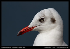 Brown-headed Gull (M V Shreeram) Tags: india bird nature birds canon wildlife aves ave 7d gujarat avifauna jamnagar laridae nonbreeding 300mmf4is brownheadedgull chroicocephalusbrunnicephalus lakhotalake wwwfacebookcomdarterphoto