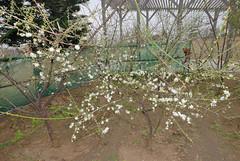 () Tags:   prunusmume  friendlyflickr    mumeplantjapaneseapricot