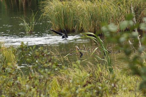 River otter  011.jpg