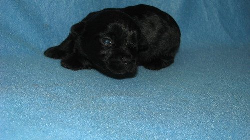 Teacup Yorkiepoo Puppy at 3 weeks