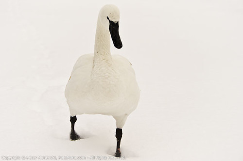 Snowy Wednesday: Swan
