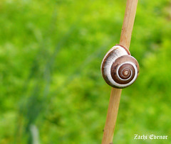 Sleeping Snail (Zachi Evenor) Tags: flowers winter flower israel snail snails 2011  zachi      evenor zachievenor