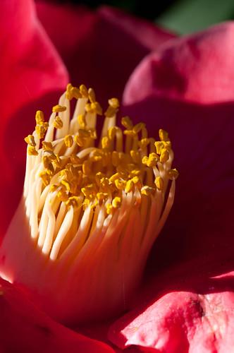 Stigam of a Camellia