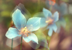 Agitation (y2-hiro) Tags: flowers blue macro nikon exposure bokeh multiple 70mm d3s