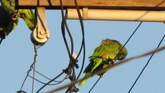 First Thing (donnazoll) Tags: california red green preening lilac oceanbeach blueskies parrots dz electricalpole donnazoll lilaccrownedparrots 519degrees 7feb2011