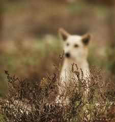 Hiding.. (ZiZLoSs) Tags: dog canon out eos focus 7d kuwait usm hiding aziz abdulaziz عبدالعزيز f56l ef400mmf56lusm zizloss المنيع ef400mm 3aziz canoneos7d almanie abdulazizalmanie httpzizlosscom
