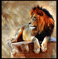 Lion ...  (AZO Monifi) Tags: life wild animal cat zoo king lion jungle planet wildcat riyadh