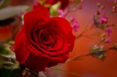 Symbol of Love (dbushue) Tags: red love rose symbol valentines bouquet february delicate 2011 blueribbonwinner coth supershot naturesgarden itsawonderfulworld damniwishidtakenthat alittlebeauty naturallywonderful