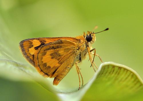 弄蝶 - Hesperiidae