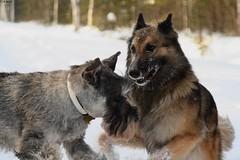 Emotion (AstridSofi) Tags: winter dog snow dogs canon eos 350d nice estonia action shepherd freezing schnauzer mona