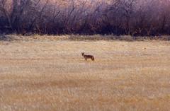 Far Away and Free (splinx1) Tags: coyote light color nature yellow composition colorado scenic handheld predator solitary hdr carnivore bouldercolorado pentaxkx canislatrans prairiewolf photomatixpro smcpda55300mmf458ed pentaxart