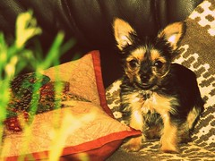 Colomba (Giovanni A. Prez Alvarez) Tags: dog puppy yorkshire daughter beb cachorro hija giovanniprezterrier