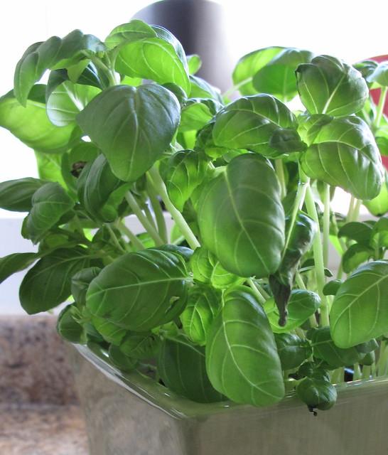 basil-plant-2