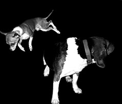 Superdog (faith goble) Tags: blackandwhite bw pets chihuahua art beagle dogs miniature flying jumping funny artist poem photographer teddy little kentucky ky faith superman tricks larry superhero poet writer teacup bowlinggreen leaping clarkkent flyingdog goble faithgoble gographix faithgobleart