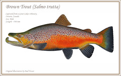 Giant Brown Trout (Fish as art) Tags: fish art nature watercolor fishing drawing derwent natur dessin rivers species streams flyfishing trout lakeontario poisson biology truta veii forelle zoology pencilart fiske morphology rret angeln browntrout trucha troutfishing scientificillustration fishart truite kalastus salmotrutta trota forel fiskeri troutart bigtrout fischerei salmotruttafario bachforelle troita truitefario beekforel silungur denatuur derwentpencils pstruh derwentwatercolourpencils germanbrowntrout montanatrout trophytrout storrret paulvecsei wissenschaftlichenillustration fishesofmichigan fishesofcanada wetenschappelijkeillustratie vsindalegtskring drawingtrout ontariotroutfishing lakeontariotrout kalastusalusten vekpstruh velikapastrva truitebrune salmoferox fishesofeurope thefreshwaterfishesofscotland russianfishes utahtrout truchagrande fishillustrations atlanticsalmonversusbrowntrout