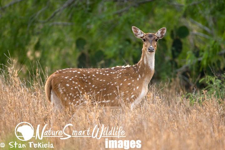 Axis Deer (Axis axis)
