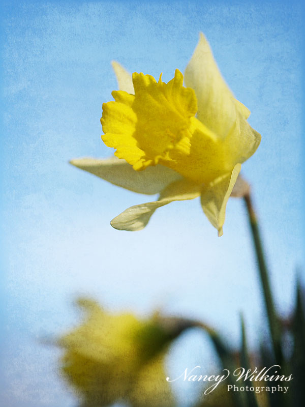 daffodil texture