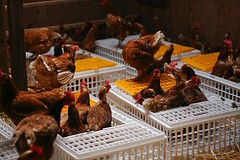Hens getting out of crates