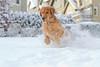 Brody Plays in the Snow (davidconger.com) Tags: dog pet snow animal goldenretriever ball golden play running retriever catch fetch brody k9 davidcongercom