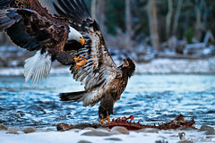 Montana Eagles - Chris Auch