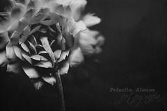 Hemos perdido algo valioso, pero volveremos a intentarlo... (Priscila Alonso www.facebook.com/viviridis) Tags: flower macro texture textura byn grancanaria nikon flor sigma canarias wb f28 105mm d80 ltytr1 cruzadasi
