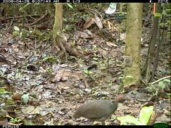 Variegated Tinamou (siwild) Tags: largebirds sequence:index=3 siwild:study=peruocelotsurvey siwild:studyId=arabelasets siwild:plot=arabela geo:locality=northernperu taxonomy:group=largebirds file:name=img0010jpg sequence:length=4 siwild:location=perulocj siwild:camDeploy=perudeploy21 sequence:key=2 siwild:region=peru variegatedtinamou crypturellusvariegatus taxonomy:species=crypturellusvariegatus taxonomy:common=variegatedtinamou siwild:trigger=perubirdstaff2047 sequence:id=perubirdstaff2047 siwild:species=323 siwild:date=200804280807420 siwild:imageid=6824 file:path=epuntoj425430peru19img0010jpg BR:QCID=5493180759 BR:batch=sla1220110304040812