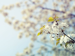 Spring Tree (~ Maria ~) Tags: flowers blue white tree spring dof bokeh bloom