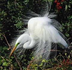 White Fanfare ( BKD Photography ) Tags: egret soe sweetfreedom flickraward avianexcellence natureselegantshots paololivornosfriends natureandpeopleinnature mygearandme blinkagain