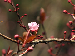 opening up to spring (marina sorr.) Tags: pink flowers red cherry spring dof blossom bokeh plum