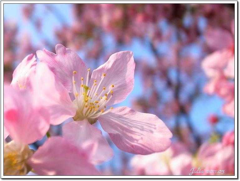 櫻花 (13)